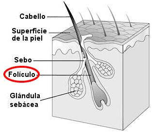 Folículo
